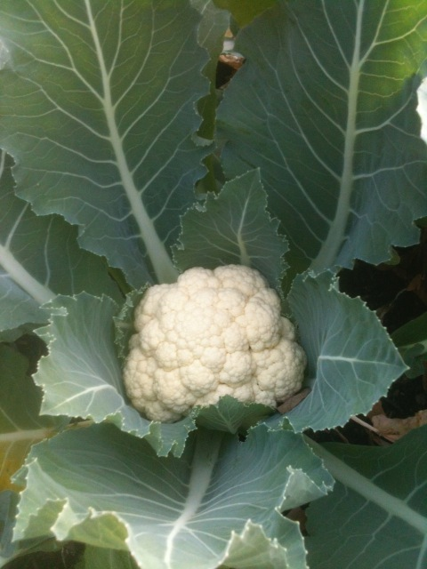 Garden Fresh Cauliflower